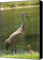 Bird Family Canvas Prints - Sandhill Crane with Baby Chick Canvas Print by Carol Groenen