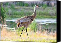 Sandhill Crane Canvas Prints - Sandhill in the Sunshine Canvas Print by Carol Groenen
