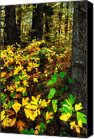 Giclee Trees Canvas Prints - Sassafras Forest II Canvas Print by Dan Carmichael