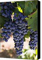 Foodstuff Canvas Prints - Sauvignon grapes Canvas Print by Garry Gay