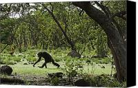 Senegal Canvas Prints - Savanna-woodland Chimps Searching Canvas Print by Frans Lanting