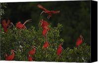 Setting Canvas Prints - Scarlet Ibises Roost In A Red Mangrove Canvas Print by Tim Laman