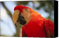 Parrot Canvas Prints - Scarlet Macaw Parrot Canvas Print by Adam Romanowicz