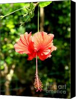Hanging Pastels Canvas Prints - Schizopetalus Hibiscus Canvas Print by Mary Deal