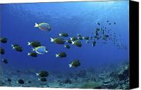 Color Stretching Canvas Prints - School Of Surgeonfish, Christmas Canvas Print by Mathieu Meur