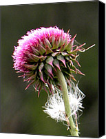 Flora Pastels Canvas Prints - Scot Thistle Canvas Print by Sandra Sengstock-Miller