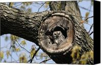 Image Setting Photo Canvas Prints - Screech Owl In A Tree Hollow Canvas Print by Darlyne A. Murawski
