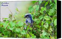 Scrub-jay Photo Canvas Prints - Scrub Jay hiding in a grape vine Canvas Print by Barbara Bowen