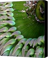 Urchin Canvas Prints - Sea Anemone 3 Canvas Print by Wingsdomain Art and Photography