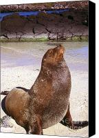 Galapagos Islands Canvas Prints - Sea Lion  on Genovesa Island Canvas Print by Thomas R Fletcher