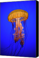 Underwater Canvas Prints - Sea Nettle Jellyfish (chrysaora Quinquecirrha) In An Aquarium Canvas Print by Patrick Strattner