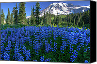 Lupines Canvas Prints - Sea of Blue Canvas Print by Dan Mihai