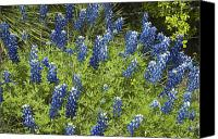 Bluebonnets Canvas Prints - Sea of Blue Canvas Print by Robert Anschutz
