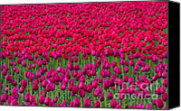 Vernon Canvas Prints - Sea of Tulips Canvas Print by Mike  Dawson