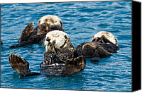 Otter Photo Canvas Prints - Sea Otter Naptime Canvas Print by Adam Pender
