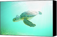 Sea Animals Canvas Prints - Sea Turtle Baby Canvas Print by Monica and Michael Sweet