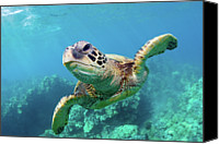 Sea Animals Canvas Prints - Sea Turtle, Hawaii Canvas Print by Monica and Michael Sweet