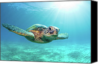 People Photo Canvas Prints - Sea Turtle Canvas Print by Monica and Michael Sweet