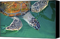 Sea Animals Canvas Prints - Sea Turtle Canvas Print by Thank you.