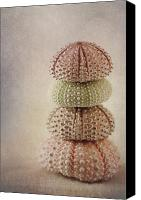 Urchin Canvas Prints - Sea Urchins Canvas Print by Carol Leigh