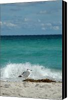 Gull Photo Canvas Prints - Seagull - South Beach Miami Canvas Print by Frank Mari