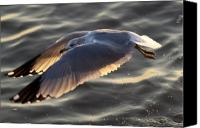 Birds Canvas Prints - Seagull Flight Canvas Print by Dustin K Ryan