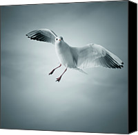 Seagull Photo Canvas Prints - Seagull Flying Canvas Print by Arnaud Bertrande Photographie
