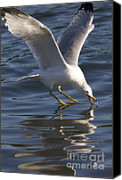 White Seagull Canvas Prints - Seagull on Water Canvas Print by Dustin K Ryan