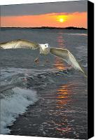 Beach Scenes Canvas Prints - Seagull Sunset Land Canvas Print by Emily Stauring