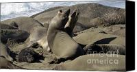 Singing Canvas Prints - Seal Duet Canvas Print by Bob Christopher