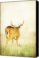 Whitetail Buck Canvas Prints - Searching Canvas Print by Emily Stauring