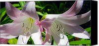 Framed Pink Lily Canvas Prints - Second Bloom Canvas Print by Sheri McLeroy
