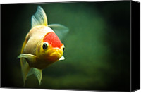 Goldfish Canvas Prints - Secret Life Of Wanda Canvas Print by Tomasz Bobrzynski (tomanthony)