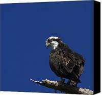 Osprey Canvas Prints - See No Evil Canvas Print by Evelina Kremsdorf
