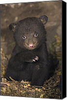 Black Bear Cubs Canvas Prints - Seven Week Old Black Bear Cub Canvas Print by Suzi Eszterhas