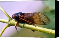 Cicada Canvas Prints - Seventeen Year Cicada Canvas Print by Douglas Barnett