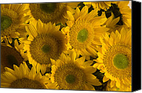 Santa Fe Canvas Prints - Several Sunflowers Are Grouped Together Canvas Print by Ralph Lee Hopkins
