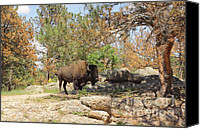 Bison Canvas Prints - Shade Of a Dying Pine Canvas Print by Robert Frederick
