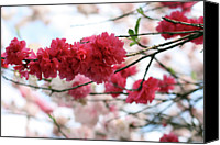 Pink Flower Branch Canvas Prints - Shades Of Pink Blossom Canvas Print by photo by Marcia Luly