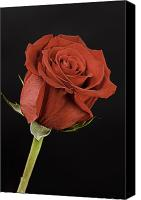 Flower Still Life Prints Canvas Prints - Sharp Red Rose On Black Canvas Print by M K  Miller