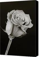 Flower Still Life Prints Canvas Prints - Sharp Rose Black and White Canvas Print by M K  Miller