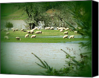 Floods Canvas Prints - Sheep Grazing Amidst Flood Canvas Print by Cindy Wright