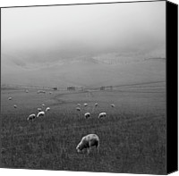 Grazing Canvas Prints - Sheep Grazing Canvas Print by Sonja Rolton