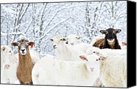 Bare Tree Canvas Prints - Sheep In Heavy Snow, Family Farm, Webster County, Canvas Print by Thomas R. Fletcher