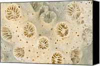 Microscope Canvas Prints - Shell - Conchology - Coral Canvas Print by Mike Savad