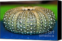 Urchin Canvas Prints - Shell with Pimples Canvas Print by Kaye Menner
