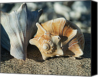 Conch Shells Canvas Prints - Shells Canvas Print by Pat Exum