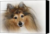 Canine Canvas Prints - Sheltie Dog - A sweet-natured smart pet Canvas Print by Christine Till