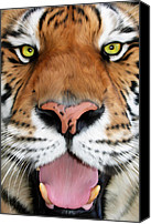 Tampa Digital Art Canvas Prints - ShereKhan Canvas Print by Big Cat Rescue