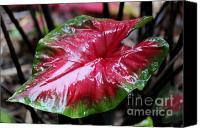 Caladium Photo Canvas Prints - Shiny Caladium Canvas Print by Theresa Willingham